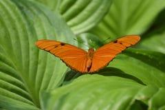 Djup orange Julia mal som vilar på en säng av sidor Arkivbilder