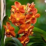 Djup orange orkidéblomma Vanda Fotografering för Bildbyråer