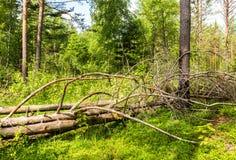 Djup skog i sommartid Lös flora och natur Royaltyfri Bild