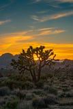 Djup solnedgång bak Joshua Tree Arkivbild