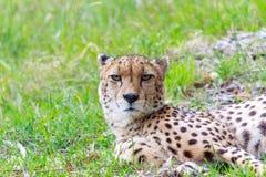 Djup stirrande från en gepard arkivfoto