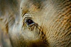 Djupa ögon av den asiatiska elefanten royaltyfria foton