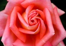 Djupa orange Rose Arkivbilder