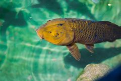 Djupblå Koi Fish royaltyfri foto