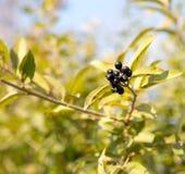 Djupblå och glansiga bär på en buske av den lösa liguster, Ligustrumvulgare, i höst Royaltyfria Foton