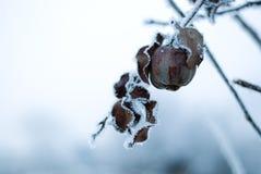 Djupfryst äpple i vinter Fotografering för Bildbyråer