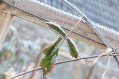 Djupfryst blad i grönsakträdgård på vintern Royaltyfria Foton