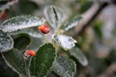 Djupfryst blad och bär 2 Royaltyfria Foton