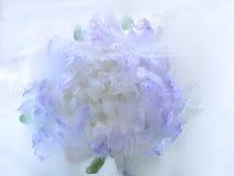 Djupfryst blomma av aster Royaltyfri Foto