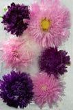 Djupfryst blomma av aster Royaltyfri Bild