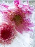 Djupfryst blomma av georgina Royaltyfria Bilder