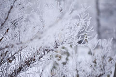 Djupfryst buske i mist Fotografering för Bildbyråer