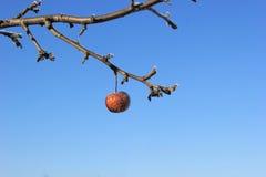 Djupfryst Crabapple träd royaltyfri fotografi