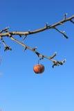 Djupfryst Crabapple träd royaltyfri foto