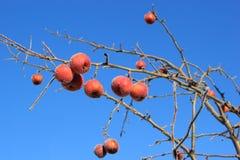 Djupfryst Crabapples träd royaltyfria foton