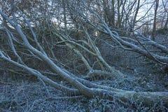 Djupfryst dött träd Arkivfoton