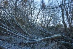 Djupfryst dött träd Fotografering för Bildbyråer