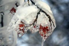 Djupfryst filial av bergaskaen Royaltyfria Bilder