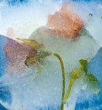 Djupfryst flora - canarian blåklocka Arkivbilder