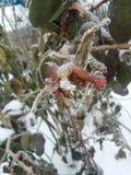 Djupfryst flora - ljust rött steg djupfryst royaltyfria bilder