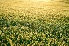 Djupfryst gräs Fotografering för Bildbyråer