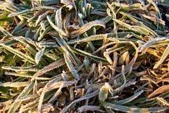 djupfryst gräs Royaltyfri Bild