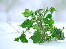 Djupfryst grön växt på snö Arkivfoto
