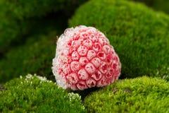 Djupfryst hallon på gröna Moss Close-Up Fotografering för Bildbyråer