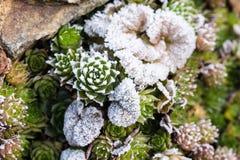 Djupfryst houseleeksempervivum på stenen med annan växter fotografering för bildbyråer