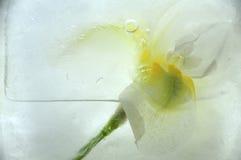 Djupfryst iris arkivfoton