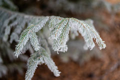 Djupfryst julträdfilial som täckas med frost Royaltyfria Bilder