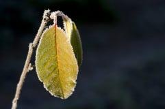 djupfryst leaf Royaltyfria Bilder
