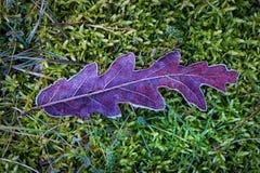 Djupfryst leaf Arkivbilder