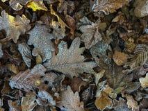 djupfryst leafs Royaltyfria Bilder