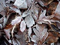 djupfryst leaves Royaltyfri Foto