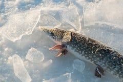 Djupfryst pik med stycken av is på en djupfryst sjö Royaltyfria Bilder
