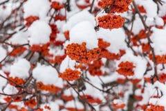 Djupfryst röd rönn Fotografering för Bildbyråer