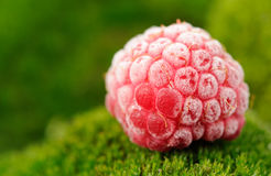 Djupfryst rött hallon på gröna Moss Close-Up Royaltyfri Foto