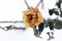 Djupfryst ros i vinter royaltyfri foto