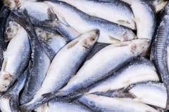 Djupfryst sill Djupfryst grupp av fisken med is atlantisk fisk sillar Sillmodell Silltextur Royaltyfria Foton