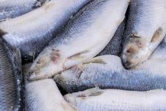 Djupfryst sill Djupfryst grupp av fisken med is atlantisk fisk sillar Sillmodell Silltextur Royaltyfri Fotografi