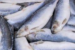 Djupfryst sill Djupfryst grupp av fisken med is atlantisk fisk sillar Sillmodell Silltextur Royaltyfria Bilder