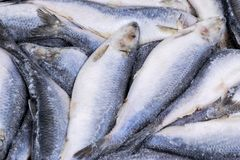 Djupfryst sill Djupfryst grupp av fisken med is atlantisk fisk sillar Sillmodell Silltextur Arkivbild