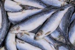 Djupfryst sill Djupfryst grupp av fisken med is atlantisk fisk sillar Sillmodell Silltextur Royaltyfri Foto