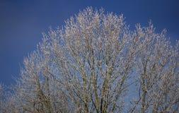 Djupfryst träd med en blå himmel Arkivbild