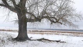 Djupfryst träd på vinterfält och den stadiga kammen för blå himmel Ensamt vinterträd på en klar kall dag stock video