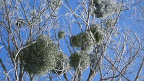 Djupfryst trädkrona på bakgrund för blå himmel lager videofilmer