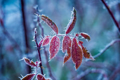 djupfryst växt Arkivfoto