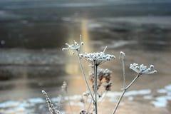 Djupfryst växt på vinter Fotografering för Bildbyråer