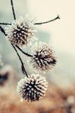 Djupfryst växt som täckas med rimfrost Arkivbilder